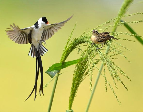 Courtship dance of the Pin-tailed Whydah (video)