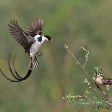 Sighting of Pin-tailed Whydah Juveniles