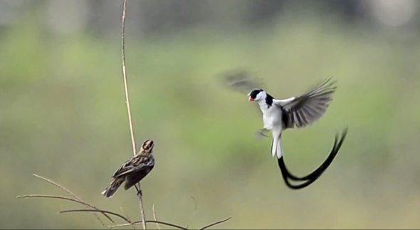 Pin-tailed Whydah mid-air dance in slow motion