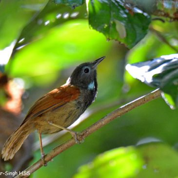 Chestnut-winged Babbler – calls and call-display
