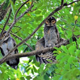 Spotted Wood-owl mating