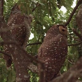 Spotted Wood-owl nesting at Dairy Farm Crescent