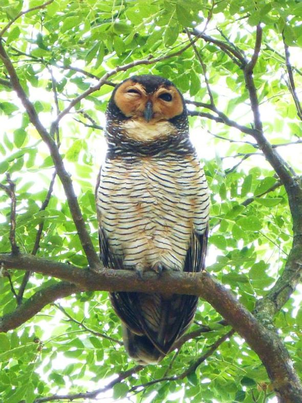 Spotted Wood-owl and gular fluttering