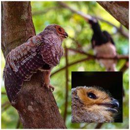 Oriental Pied Hornbills eying fallen Spotted-wood Owlet