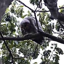 Juvenile Spotted Wood-owl casting pellet
