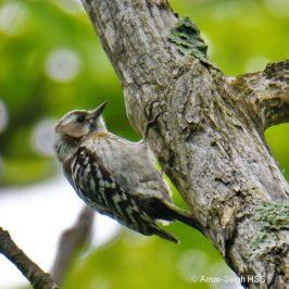 Japanese Pygmy Woodpecker <em>Picoides kizuki seebohmi</em> – males