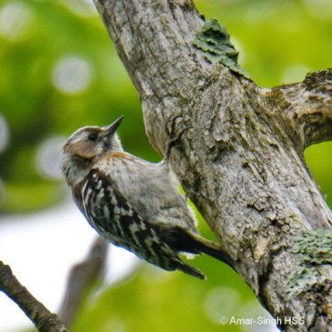 Japanese Pygmy Woodpecker Picoides kizuki seebohmi – males