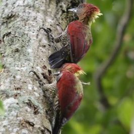 Banded- and Crimson-winged Woodpeckers and their calls