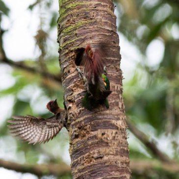 Battle for a nesting hole:  Woodpecker vs Barbet