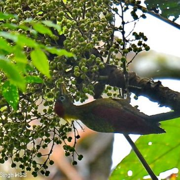 Frugivory by Woodpeckers: Crimson-winged and Banded