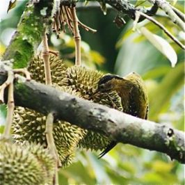 Laced Woodpecker and durians