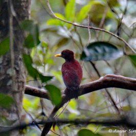 Maroon Woodpecker – calls