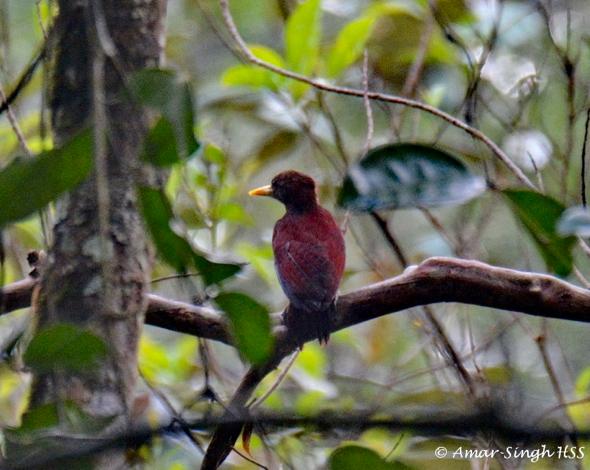 WoodpeckerMo-f [AmarSingh]