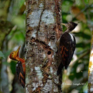 Orange-backed Woodpecker  – family unit