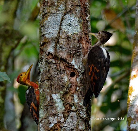 WoodpeckerOrBk-ad [AmarSingh]  1