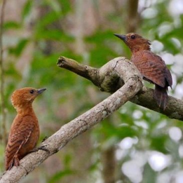 Nest of the Rufous Woodpecker
