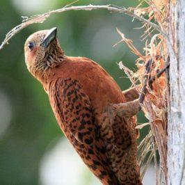 Rufous Woodpecker chiseling a nesting cavity