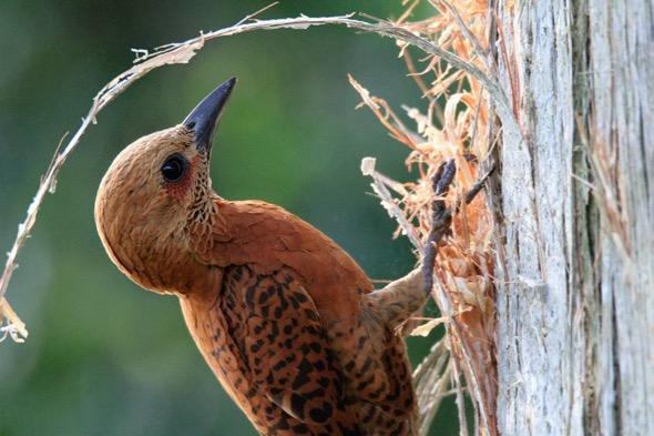 WoodpeckerRuf-chisel cavity [DaniMQuqeddeng] 2