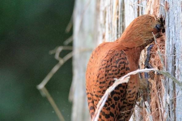 WoodpeckerRuf-chisel cavity [DaniMQuqeddeng] 4
