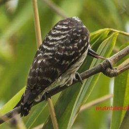 Sunda Pygmy Woodpecker foraging
