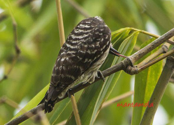 Sunda Pygmy Woodpecker foraging