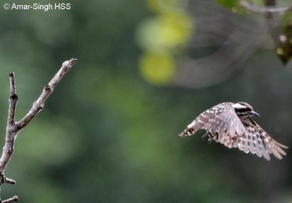 WoodpeckerSdPgy [AmarSingh]