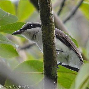 Large Woodshrike  – group foraging and calls