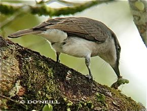More on the food of the Large Woodshrike