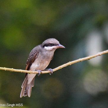 Large Woodshrike – juvenile's call