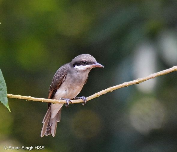 Large Woodshrike – juvenile's call