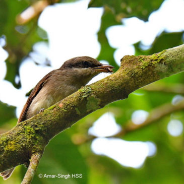 Large Woodshrike – juveniles and adults with prey