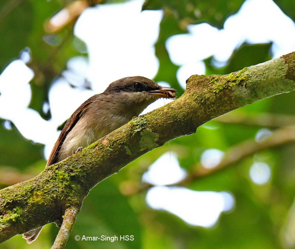 Juvenile Large Woodshrike with prey.