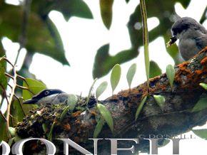 © Nesting Building – Large Woodshrikes