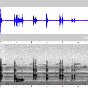 Large Woodshrike – adult-juvenile group calls