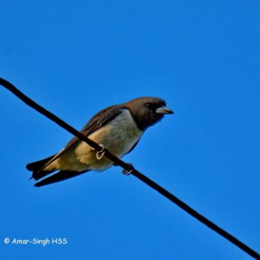 White-breasted Woodswallow – calls