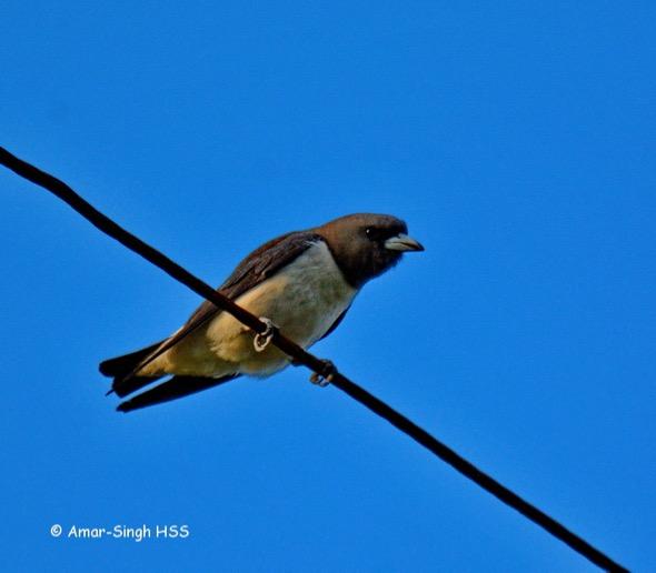WoodswallowWhBr [AmarSingh] 1