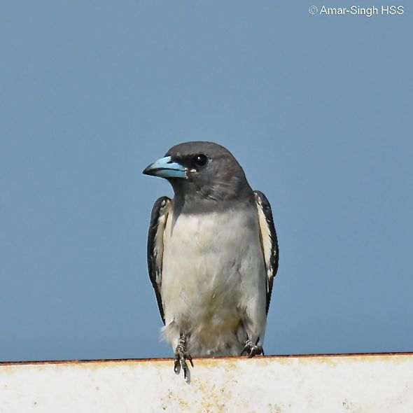 White-breasted Woodswallow in East Malaysia