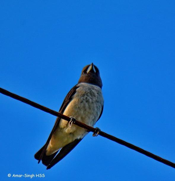 WoodswallowWhBr [AmarSingh] 2