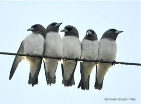 Perching behaviour of White-breasted Woodswallow