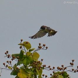 White-breasted Woodswallow – feeding behaviour