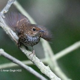 Wing Flicking: Pygmy Wren-babbler