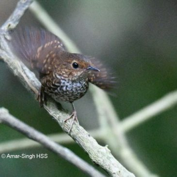 Wing Flicking: Pygmy Wren-babbler