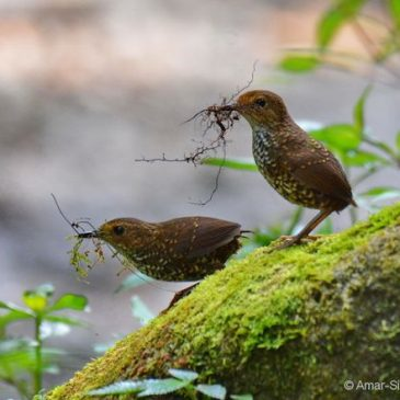 Pygmy Wren-babbler – nest building