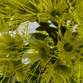 Red-whiskered Bulbul taking nectar from the Golden Penda flowers