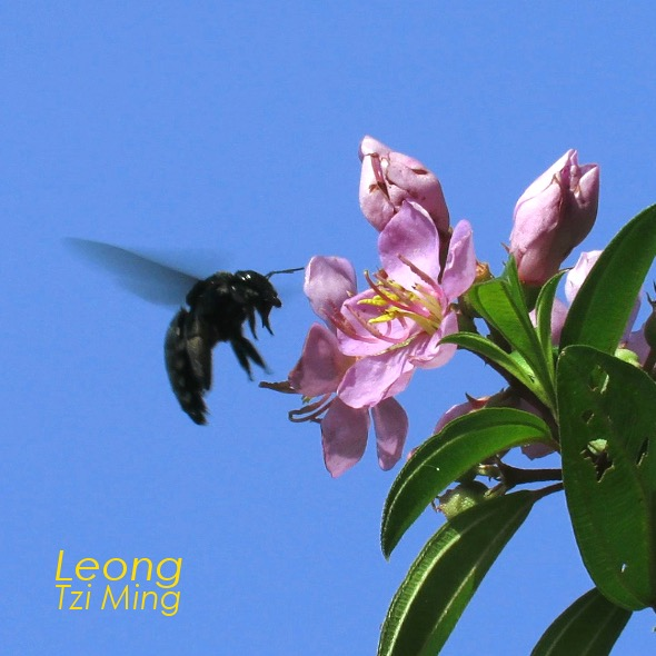 Sendudok Pollination