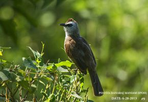 Yellow-vented Bulbul – feeding chicks