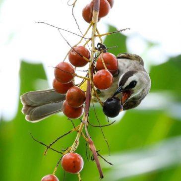 Videos of birds feeding on Footstool Palm fruits