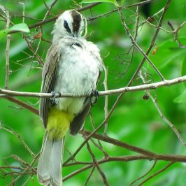 YELLOW-VENTED BULBUL PREENING and DEFAECATION