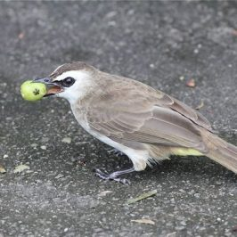 Yellow-vented Bulbul swallowing <em>Muntingia calabura</em> fruit