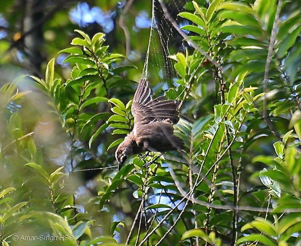 Yellow-vented Bulbul caught in a spider's web